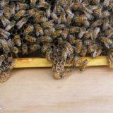 ミツバチの王台
