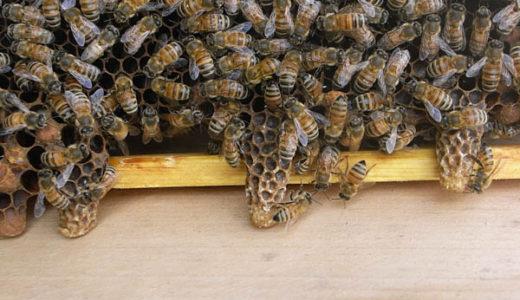 【西洋ミツバチの飼育方法】春の建勢作業 王台の除去