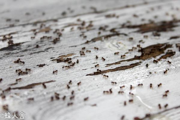 ミツバチ飼育アリ対策