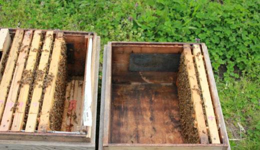 【養蜂作業】冬囲いを解いて、女王蜂の切羽
