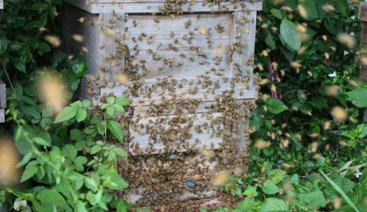 【日本ミツバチ】2016年初分蜂 分蜂板にはとまらず飛んでいってしまった