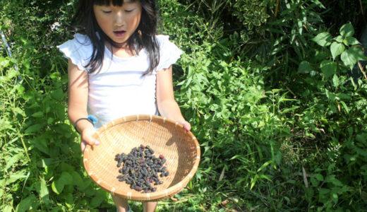 【2017年初夏の里山の恵み】桑の実とジューンベリーを娘と一緒にむさぼり食う