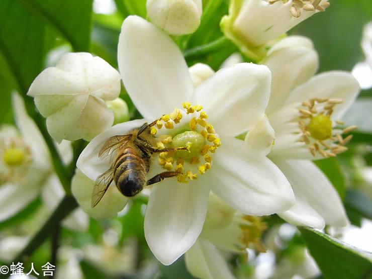 ミカンが満開 春採れ蜜もう少ししたら採蜜です