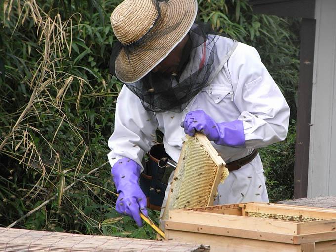 初夏採れ蜜の採蜜、畑の野菜を収穫