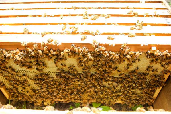猛暑の中採蜜、採蜜動画あり