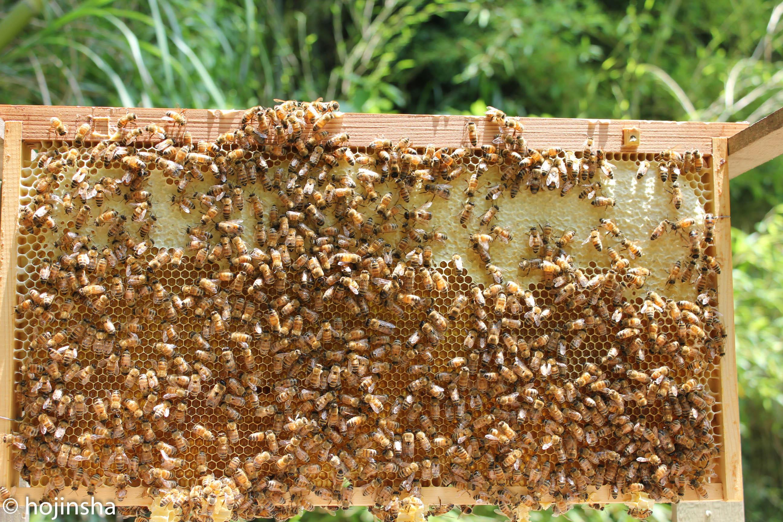 初夏採れ蜜、採蜜しました 間もなく販売開始します