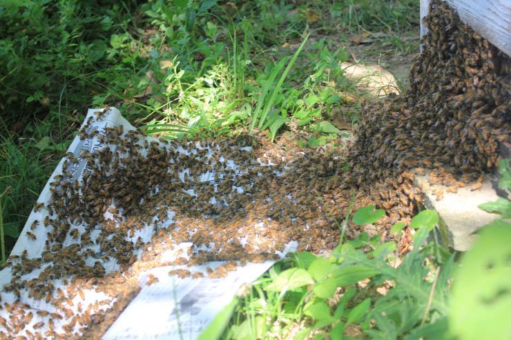 庭の蜂群の採蜜、今日は5歳の男の子が手伝ってくれました