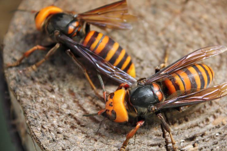 2016年 大スズメバチ最初の襲撃は8月9日