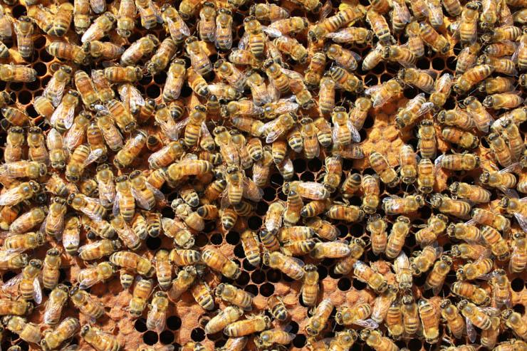 セイタカアワダチソウが満開に近づき、ミツバチ達も元気に