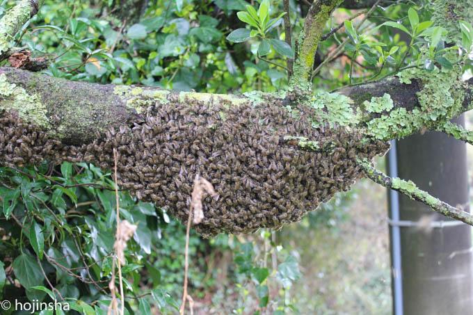 【日本ミツバチ】2016年分蜂2回目 分蜂群を捕獲