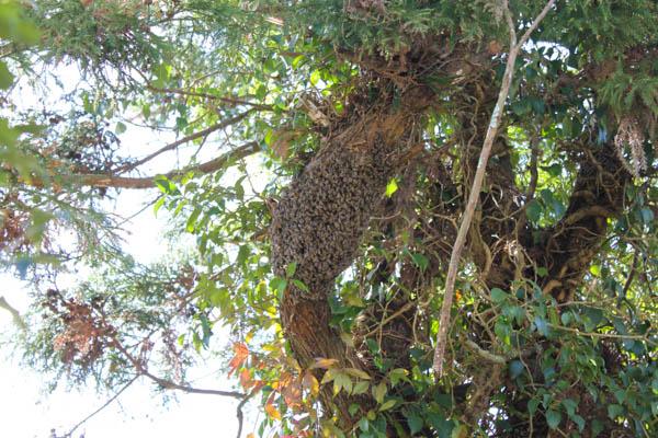 【日本ミツバチ】巣枠が足りなくなって孫分蜂される