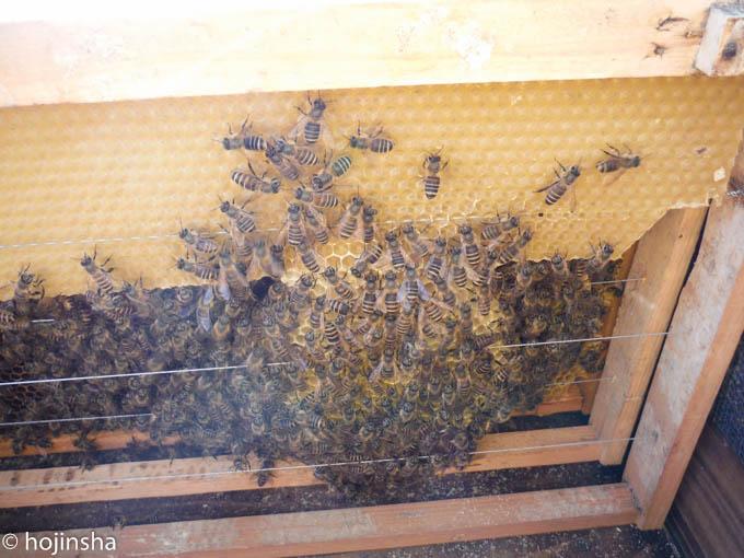 【日本ミツバチ】春の分蜂は計4回でした