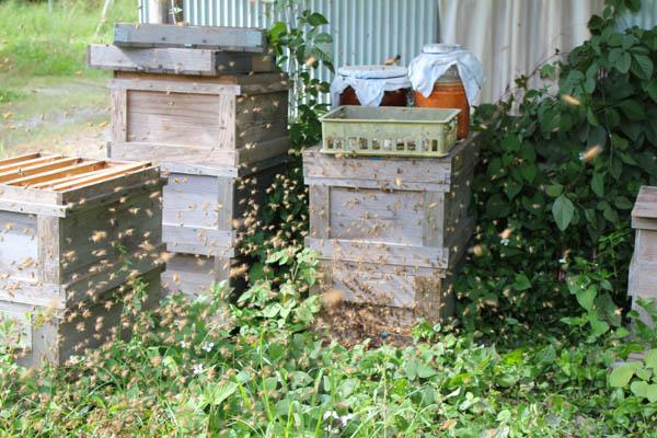 西洋ミツバチの分蜂群が日本ミツバチの営巣群に侵入