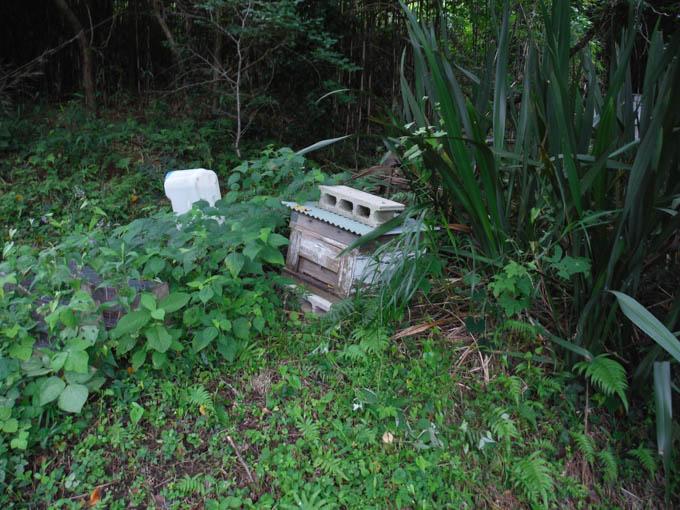 日本ミツバチ 夏分蜂群が山の待ち箱に入居