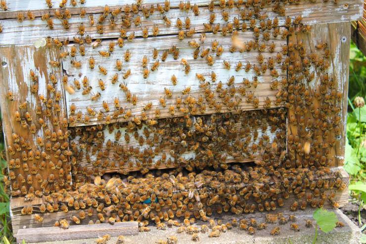 養蜂の夏の管理、巣枠の整理 暑い日中はクールダウンでサーフィン