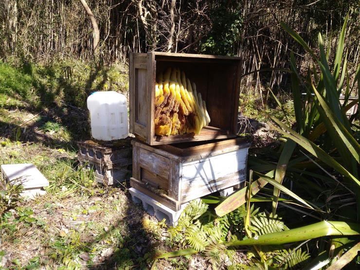 2017年冬日本ミツバチ逃去