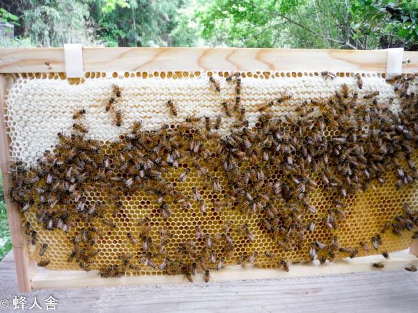 2017年春一番蜜を採蜜します 今年の春一番蜜はヤマフジのはちみつです
