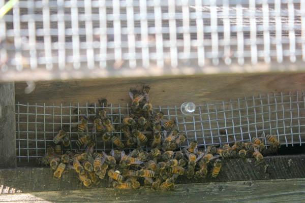 2017年 養蜂秋の仕事 今年はキイロスズメバチが多い