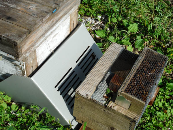 2017年オオスズメバチは少なく、キイロスズメバチが多い、中年の門番その後