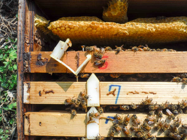 2017年秋の養蜂作業 三角コマを外して巣枠間をせばめる