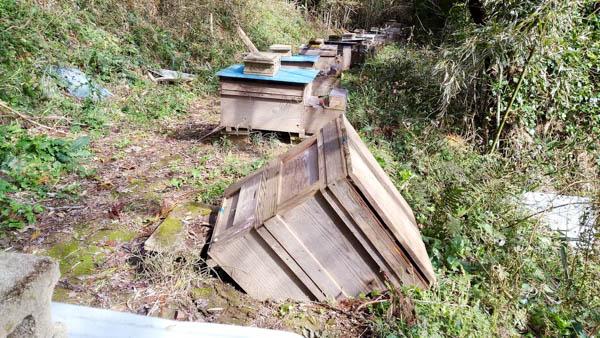 西洋ミツバチ巣箱の沈下、日本ミツバチに給餌