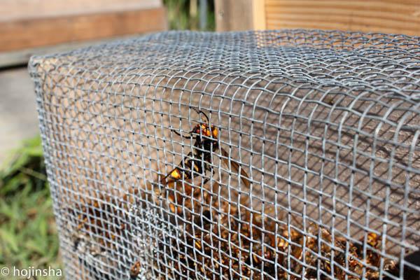 2015年9月に入ってから 大スズメバチ襲撃あり
