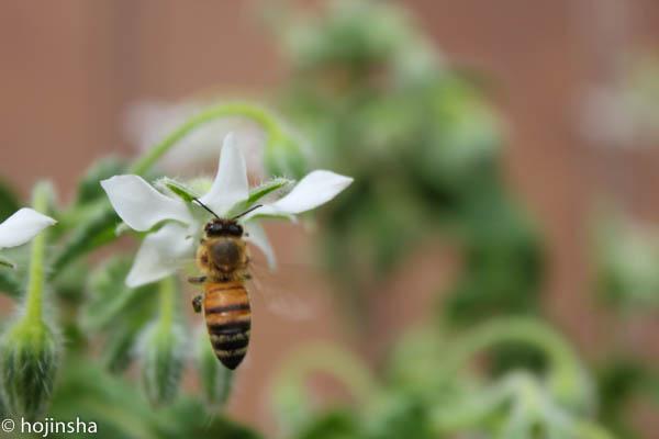 【蜂針療法】 起き上がれない腰痛がハチのひと刺しで回復
