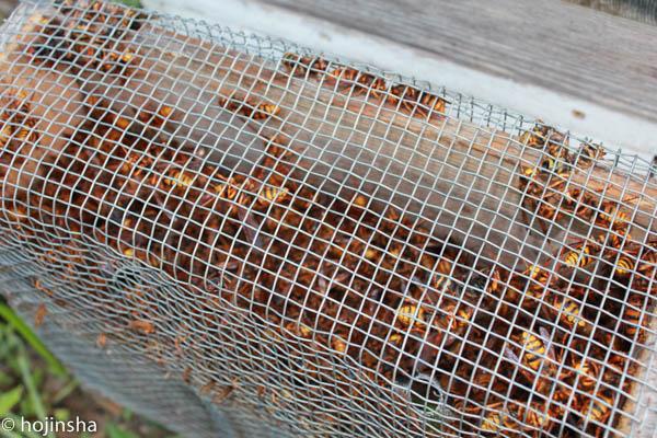 キイロスズメバチがたくさん来ています、大スズメバチはまだ少ない
