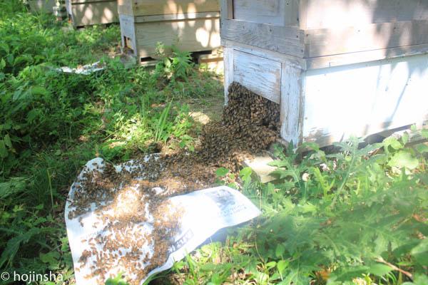今日も初夏採れ蜜の採蜜
