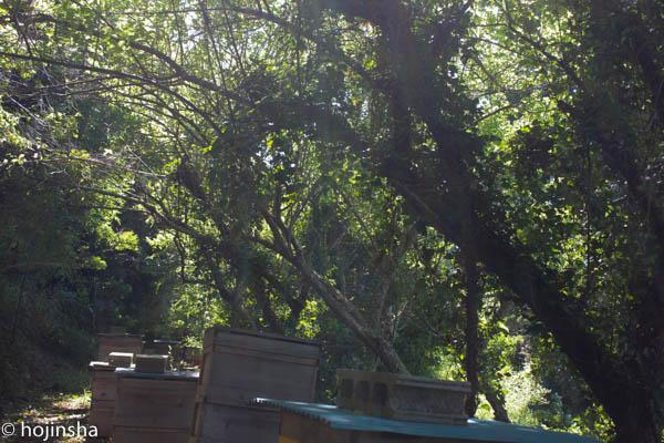 ミツバチの巣箱は、落葉樹の下に置くのが良いですよ