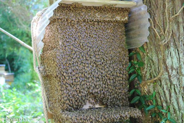 日本ミツバチの夏分蜂