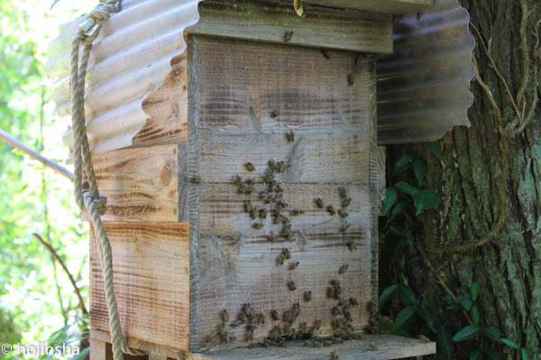 日本ミツバチ、スムシに占拠されて逃去しました