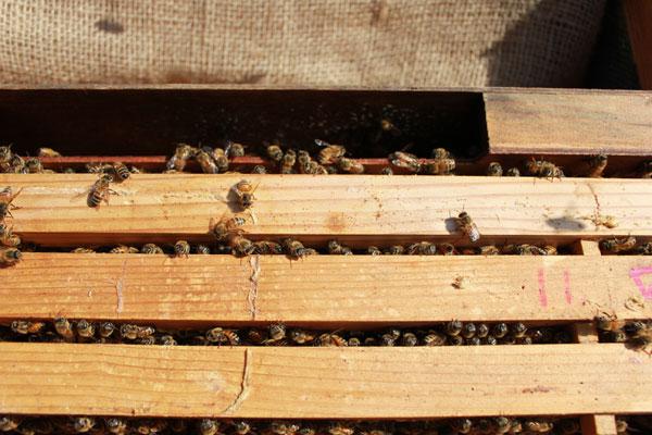 2015年初内検 さあ養蜂スタートです