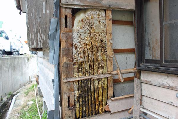 日本ミツバチの巣を撤去