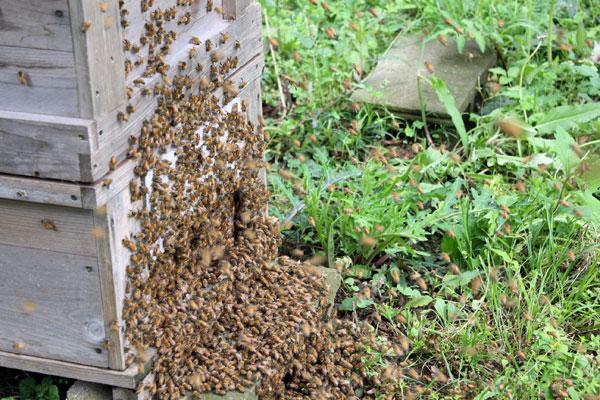 【西洋ミツバチの飼育方法】 女王蜂の切羽と分封未遂群の処置