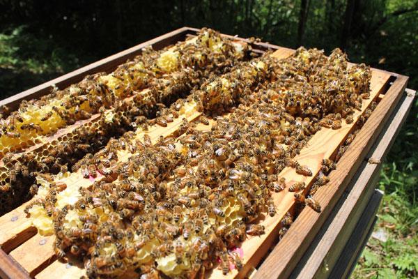 初夏の里山はちみつを採蜜します