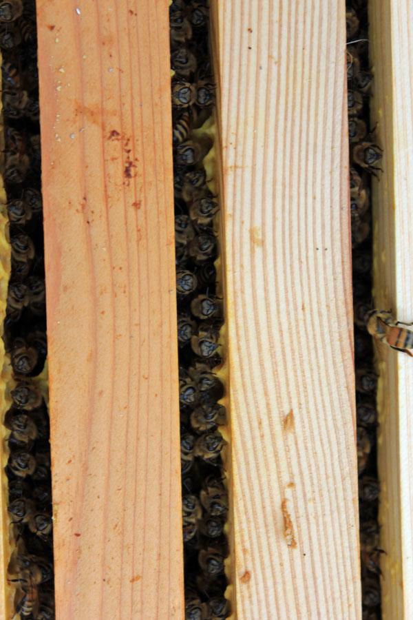 ミツバチの内検作業、丹念に一枚一枚見ていきます