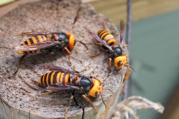 【西洋ミツバチの飼育方法】スズメバチ対策