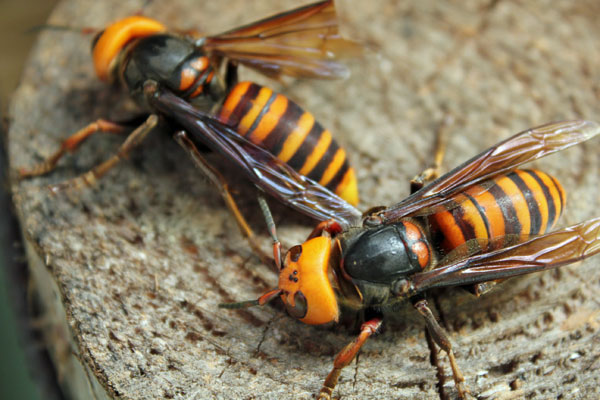 今年は、体の大きな大スズメバチが早くから来ている