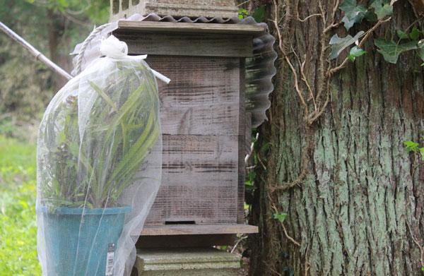 日本ミツバチの待ち箱にキンリョウヘンをセット