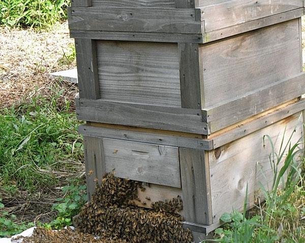 【西洋ミツバチの飼育方法】春の建勢作業 継箱をする(隔王板使用)