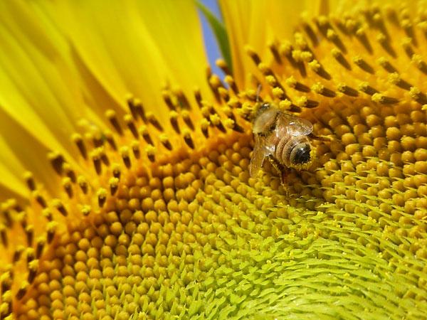 猛暑の中、採蜜続きます