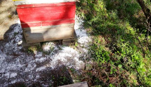 蜂場の山桜が満開 消石灰での地面の消毒
