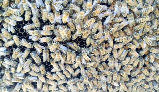 カーニオラン種のミツバチを購入