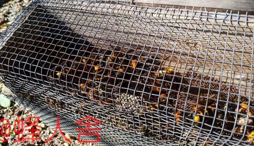 西洋ミツバチの蜂球熱殺